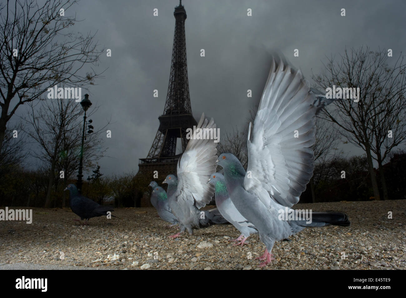 Flock of Feral pigeons (Columba livia)  in front of the Eiffel tower at dusk, Paris. France, November 2009. - Stock Image