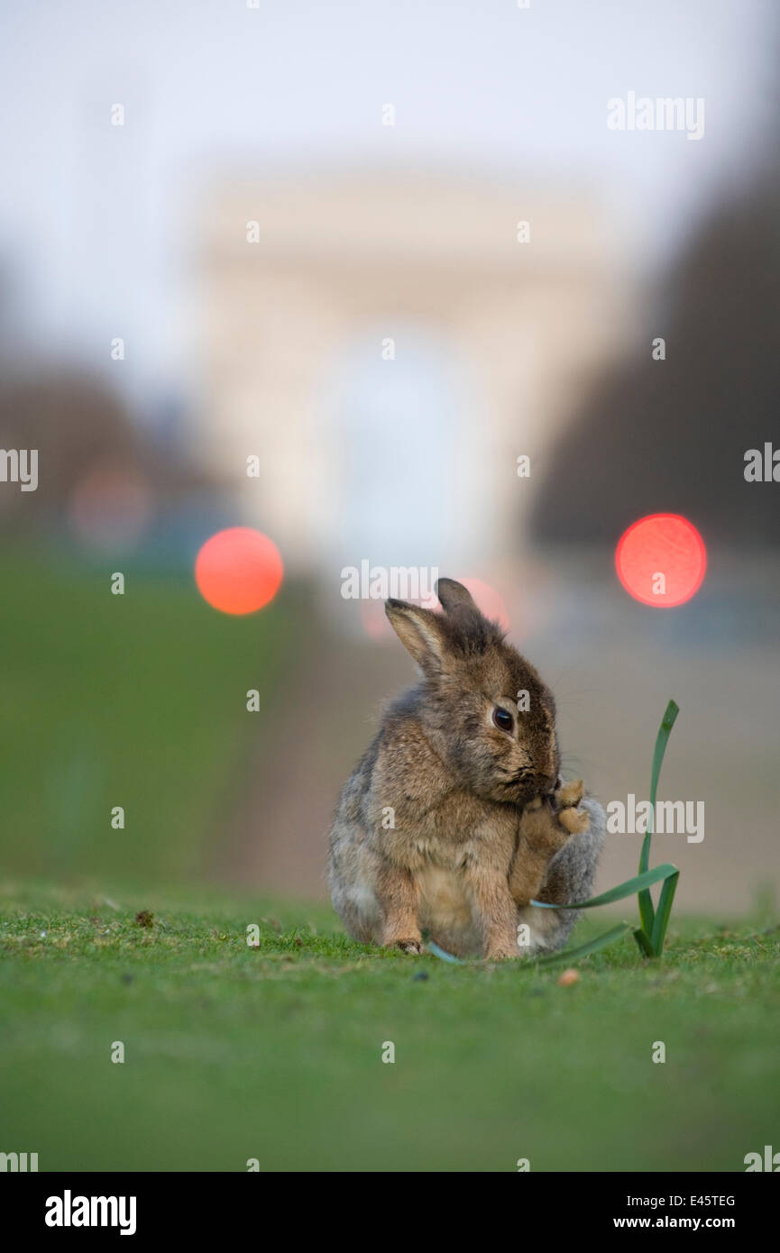 Rabbit  grooming, on grass in park, with the Arc de Triomphe behind, Paris, France, April 2010. - Stock Image