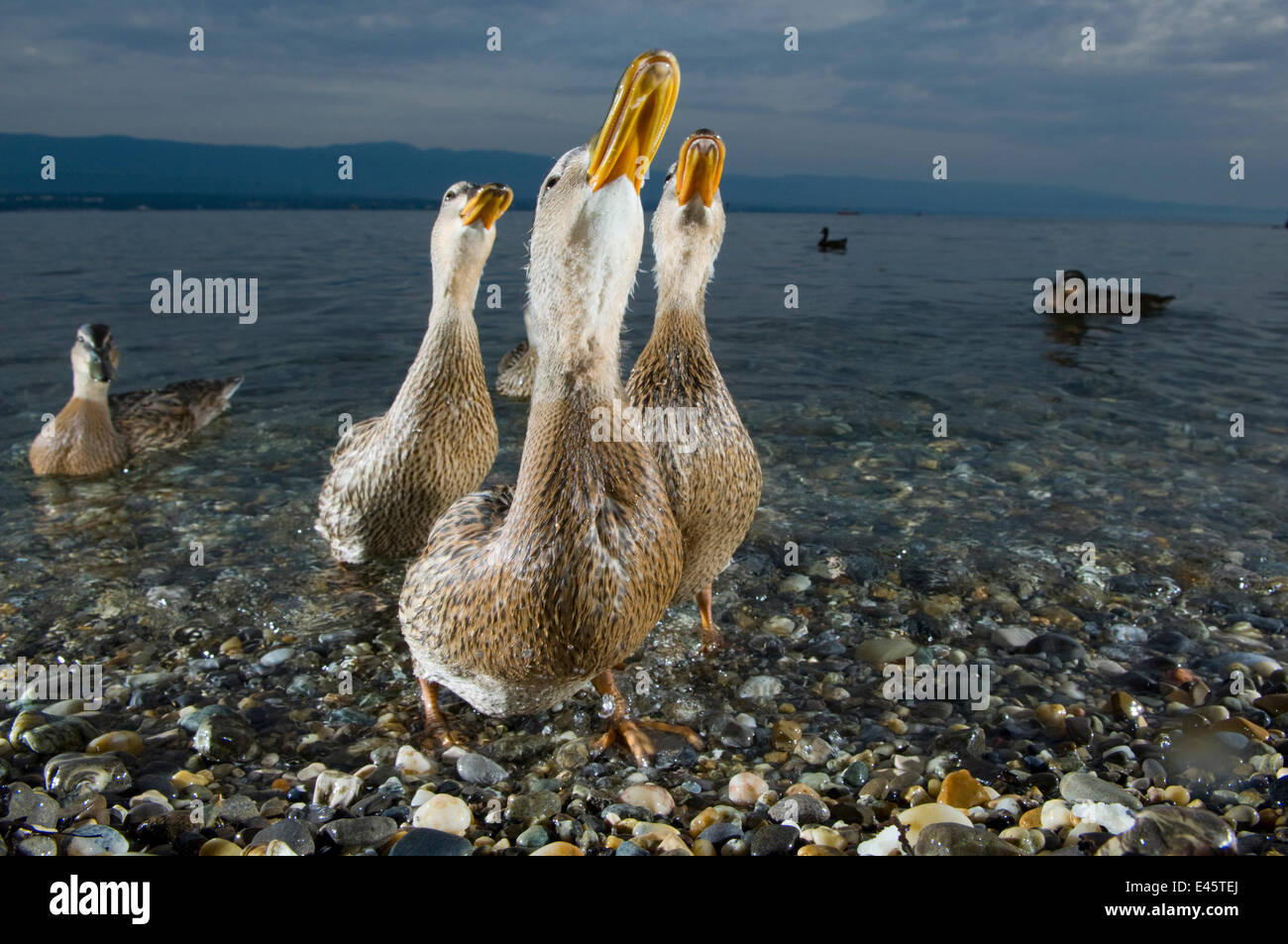 Mallard ducks (Anas platyrhynchos) females looking skyward together on the shore of Lake of Geneva, France, June. - Stock Image