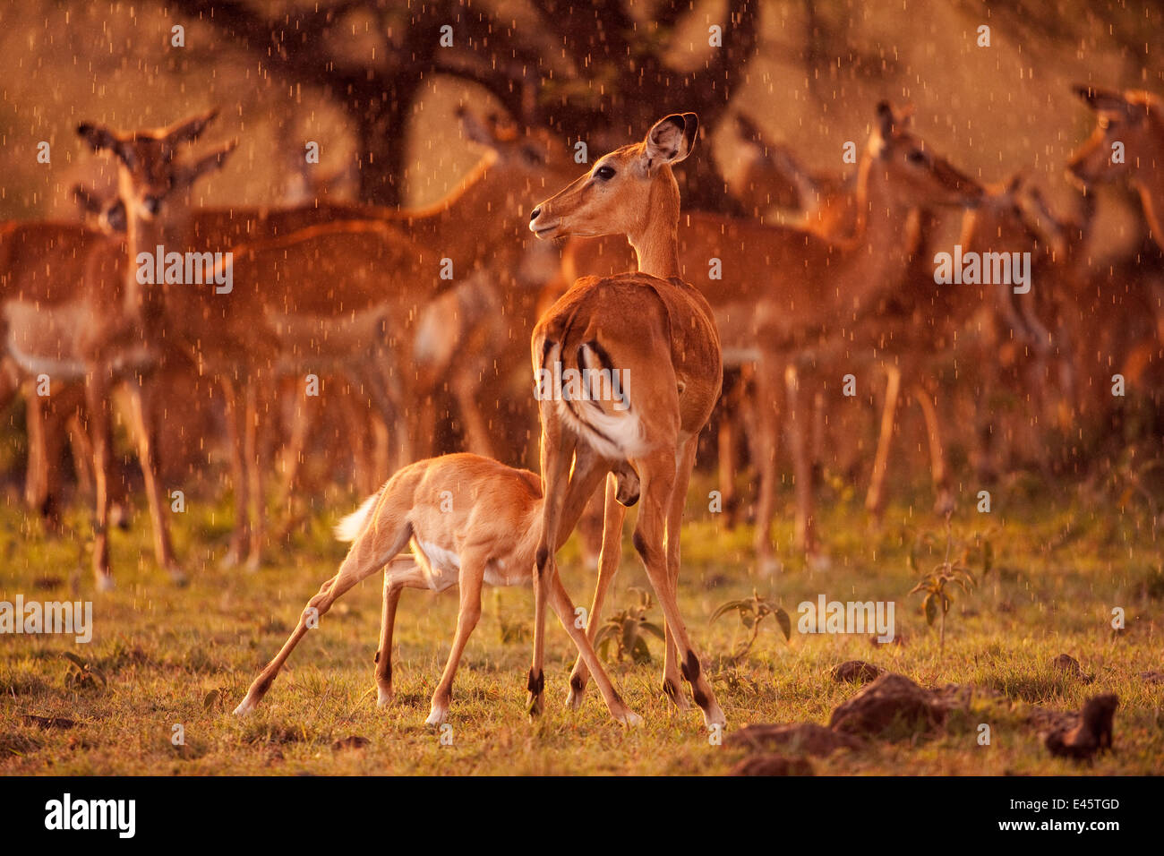 Impala herd (Aepyceros melampus) and female with suckling fawn in late afternoon rain, Masai Mara National Reserve, - Stock Image