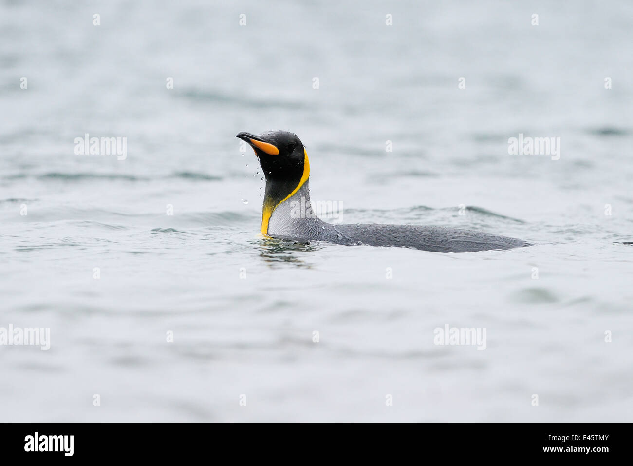 King Penguin (Aptenodytes patagonicus) swimming in water at Macquarie Island, sub Antarctic waters of Australia. - Stock Image
