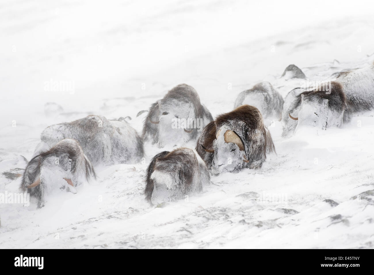 Musk ox (Ovibos moschatus) snowed in in snow storm, Dovre-Sunndalsfjella National Park,  Norway - Stock Image