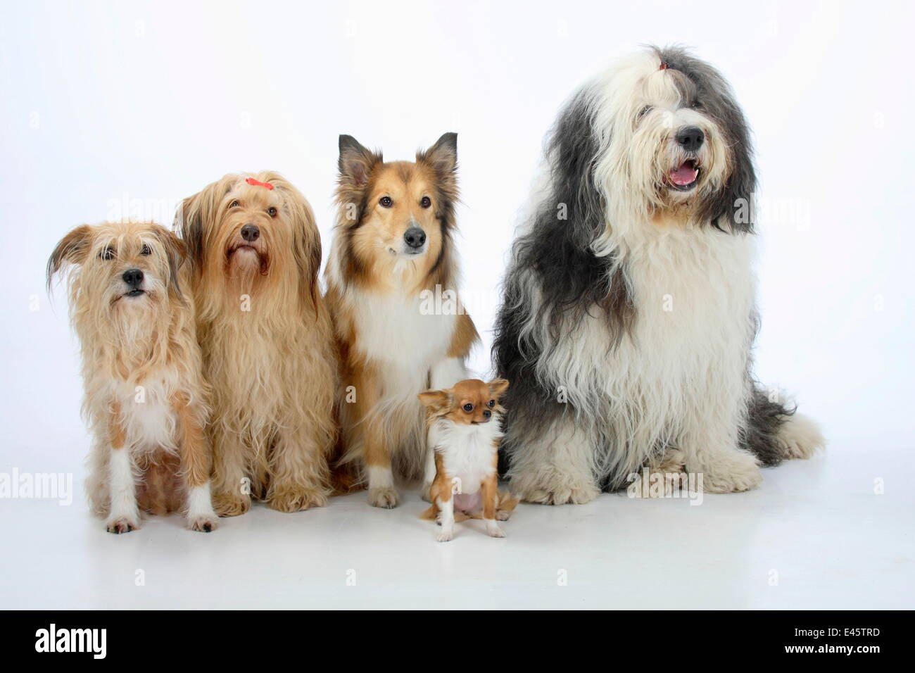 Group portrait of five dogs sitting, from left to rt: two mongrels, Rough Collie, Bobtail (Old English Sheepdog) - Stock Image