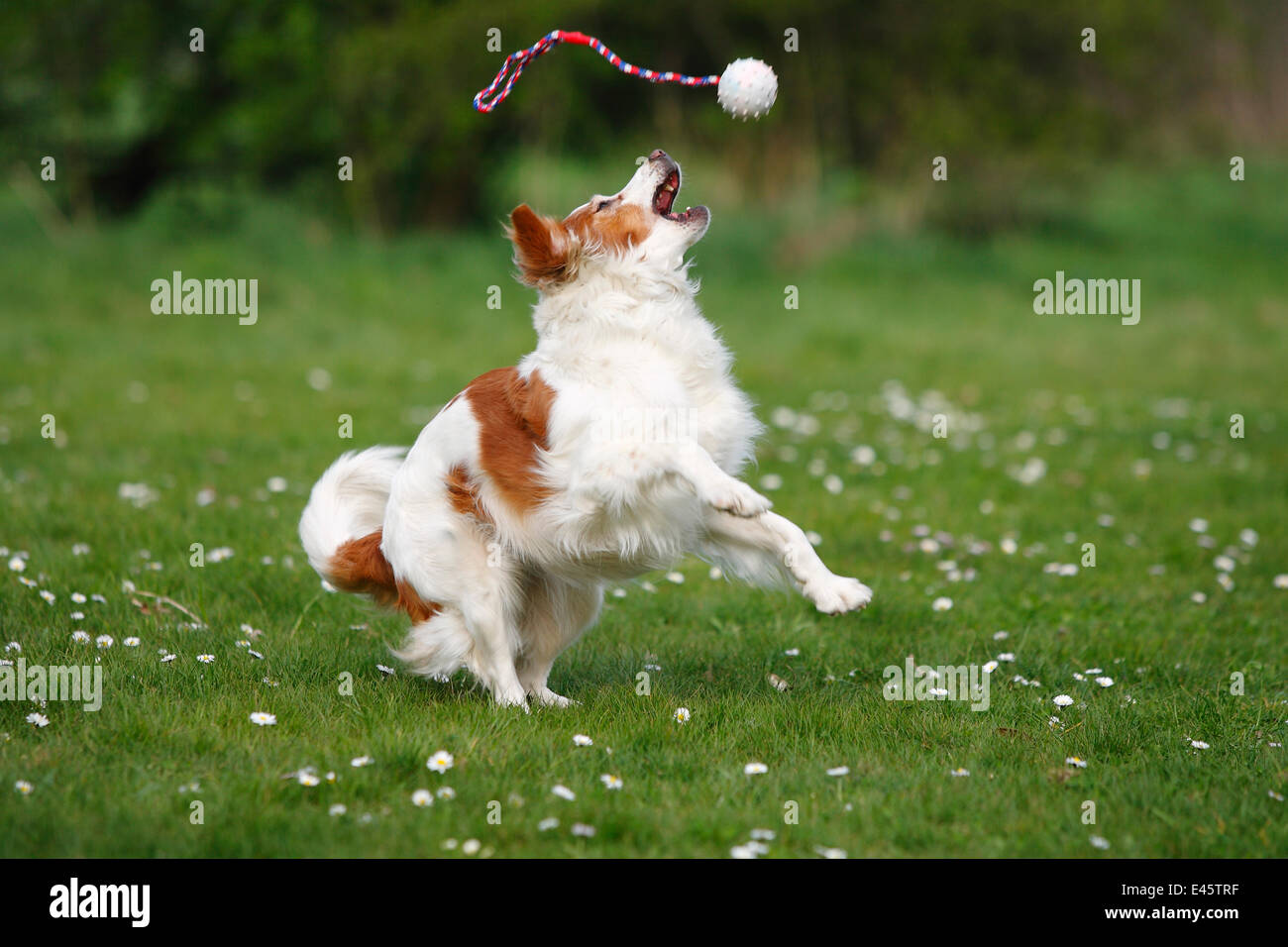 Kromfohrlander playing with ball / toy, in a field. - Stock Image