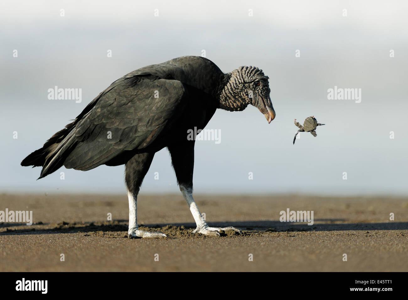 Black vulture (Coragyps atratus) feeding on Olive ridley sea turtle hatchling (Lepidochelys olivacea) Playa Ostional, - Stock Image