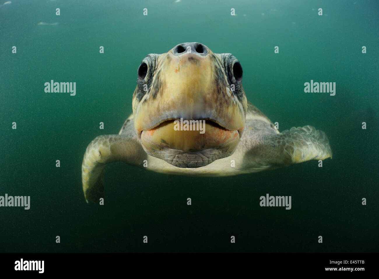 Female Olive ridley sea turtle (Lepidochelys olivacea) swimming from the open ocean towards the beach of Ostional, - Stock Image