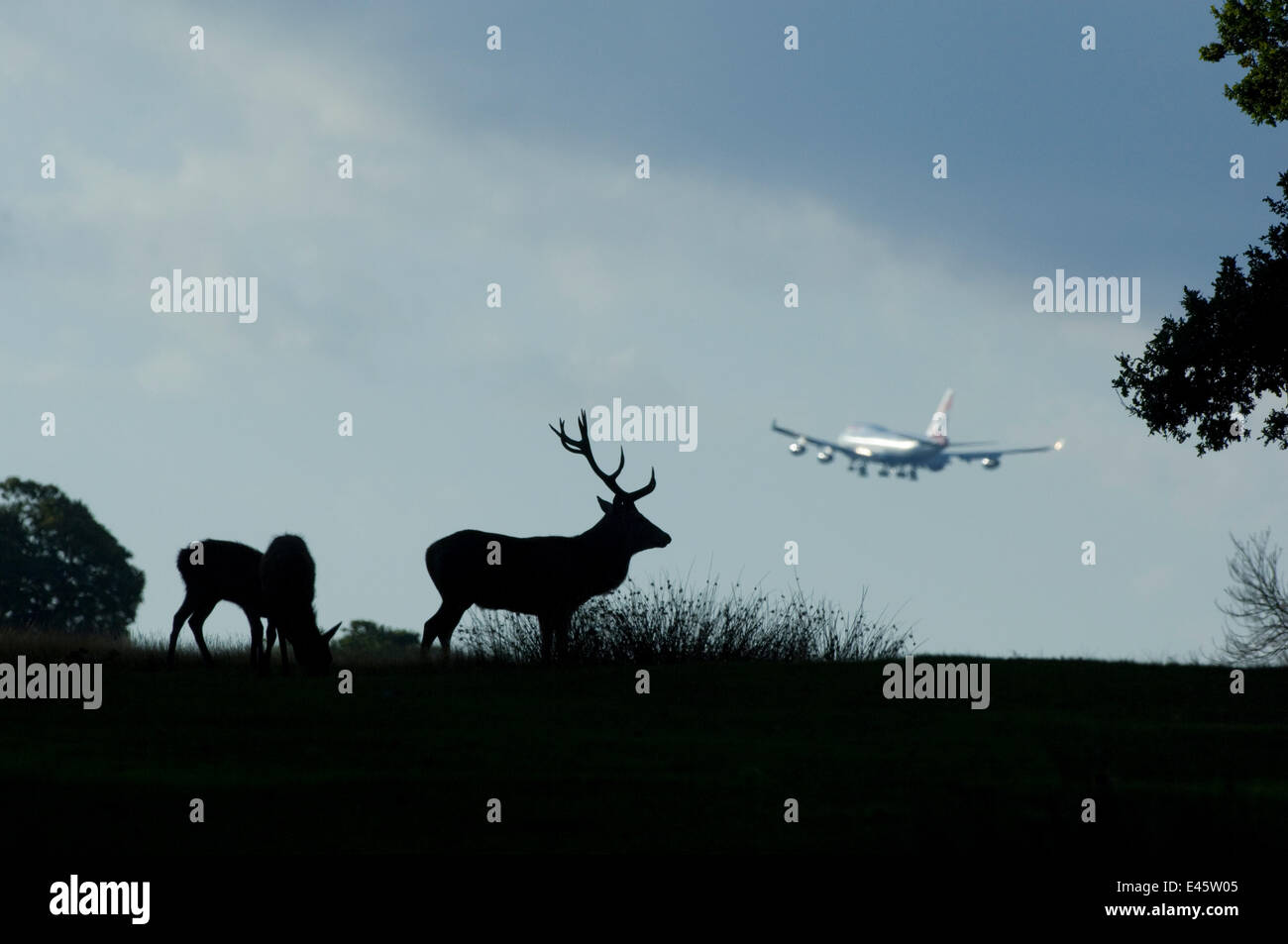 Red deer (Cervus elaphus) male during the rut with aeroplane taking off / landing in background, Richmond Park, - Stock Image