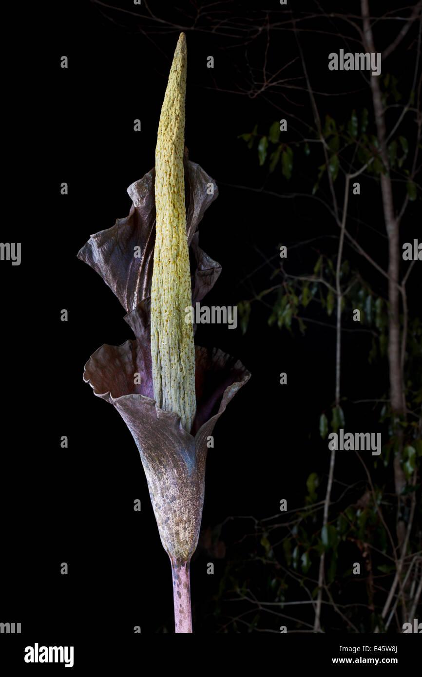 Enormous inflorescence of Arum plant (Amorphophallus sp) Dry deciduous forest, Kirindy Forest, Western Madagascar. - Stock Image