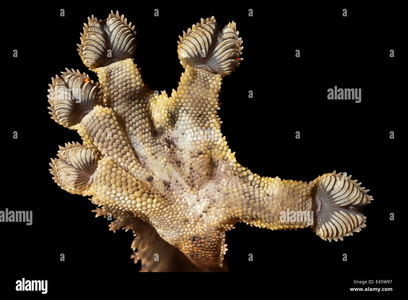 Close-up of the underside of foot of Leaf-tailed gecko {Uroplatus sikorae} as it walks on vertical glass. The finely - Stock Image