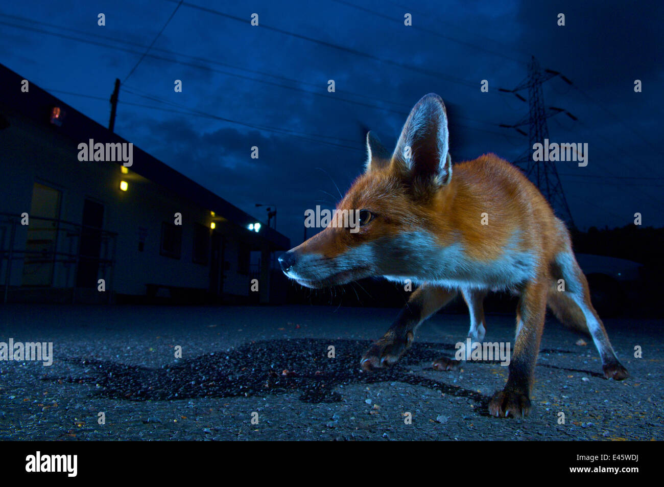 Urban fox (Vulpes vulpes) portrait in suburban street at night, London, England. - Stock Image