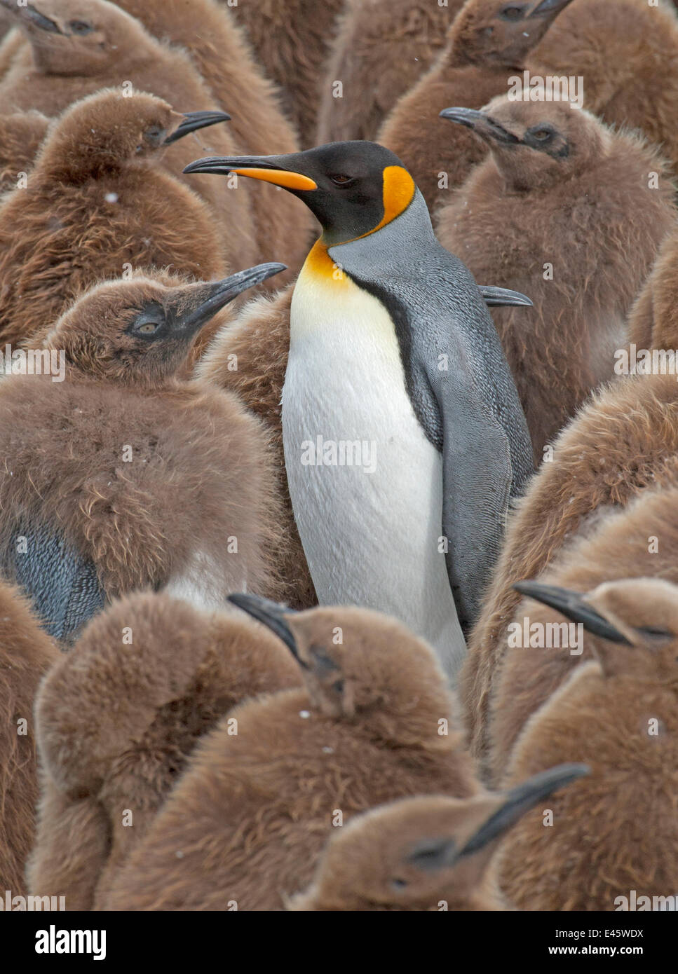 King Penguin (Aptenodytes patagonicus) adult standing amongst colony of chicks, Gold Harbor, South Georgia, South - Stock Image
