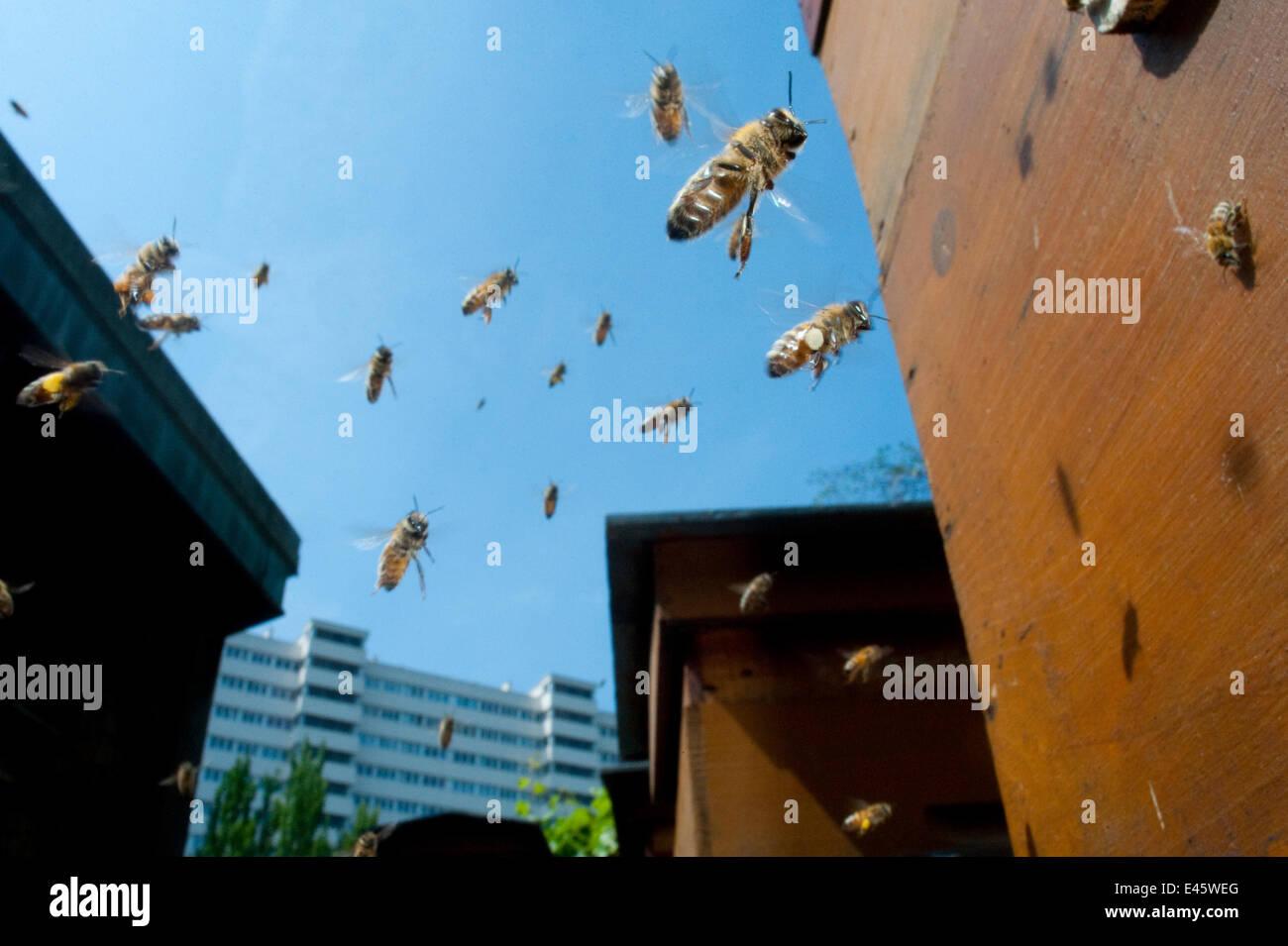 Honey bees (Apis melifera) flying in city. Paris, France Stock Photo
