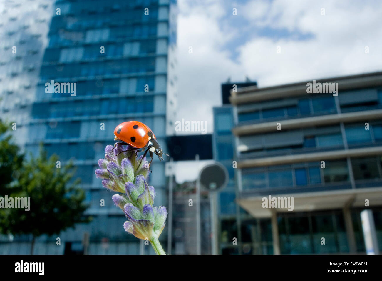 Seven-spot ladybird (Coccinella septempunctata) on a lavender flowerhead in a park, with buildings behind. Neuchatel, - Stock Image