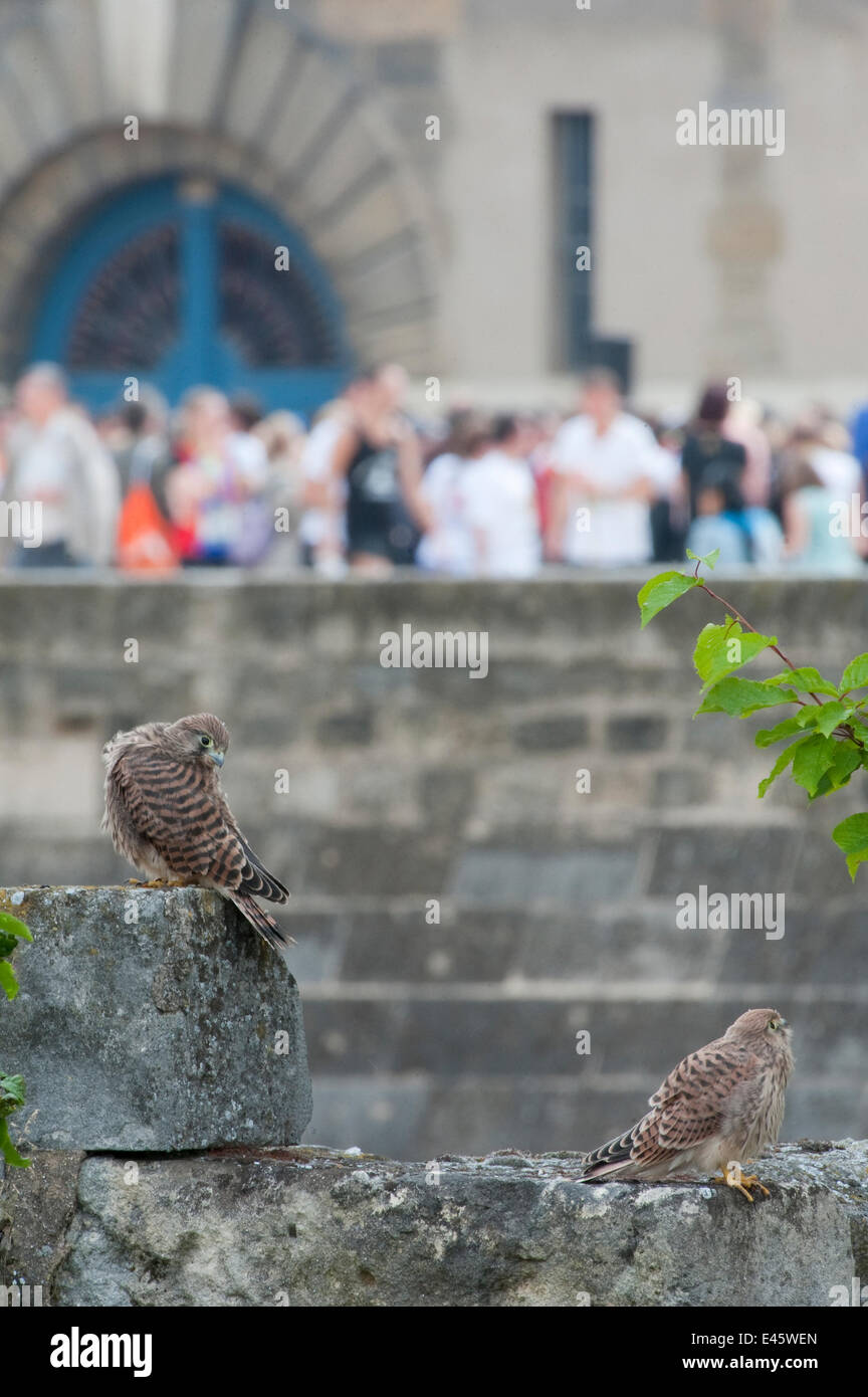Two Kestrels (Falco tinnunculus) on a stone wall in Paris, with tourists in the background. France - Stock Image