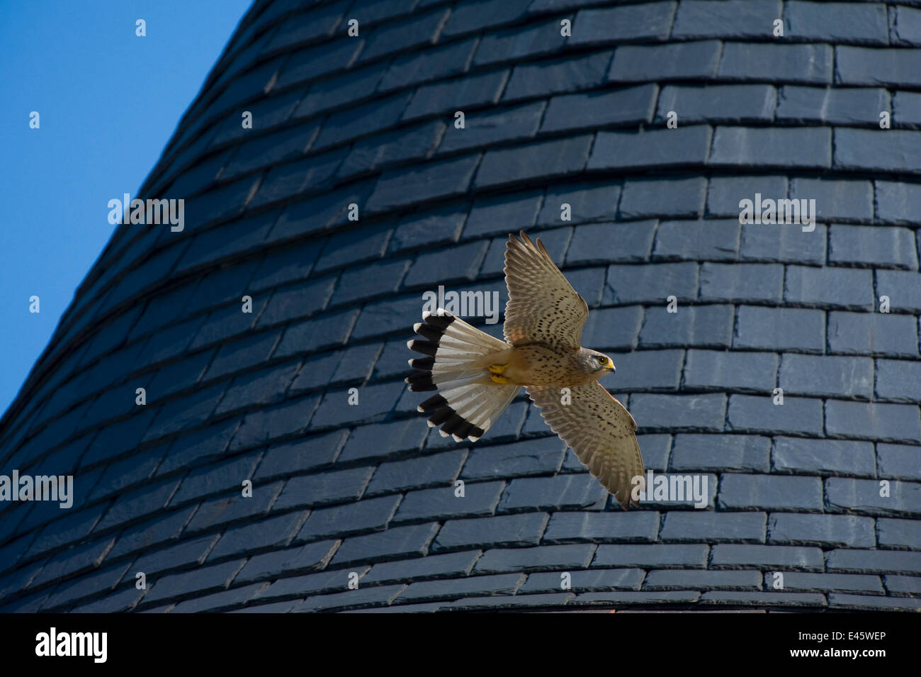 Kestrel (Falco tinnunculus) male in flight with wings spread. Paris, France - Stock Image