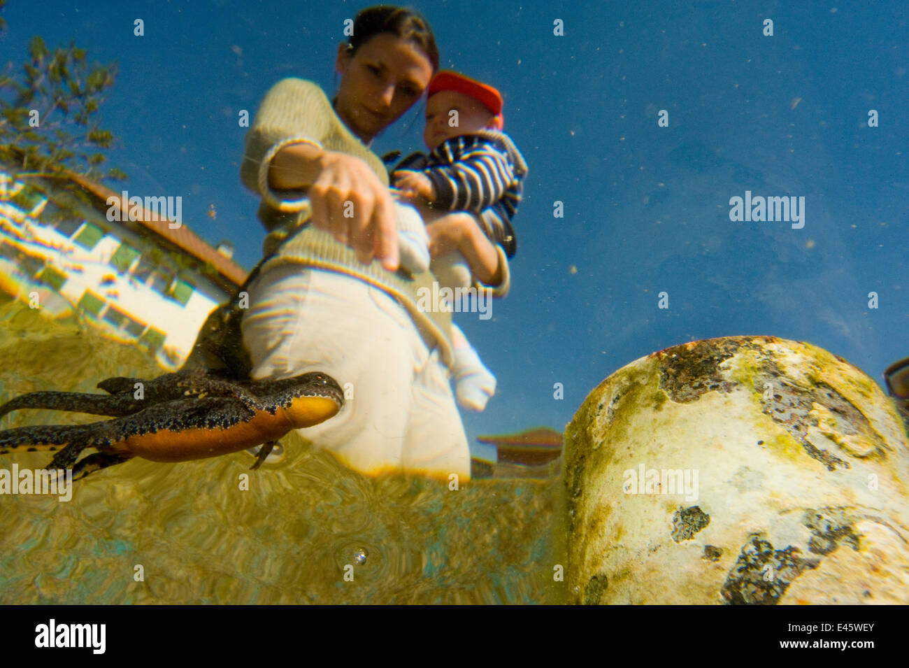Alpine newt (Triturus alpestris) swimming in garden pond, viewed from below, with woman and child watching. Switzerland, - Stock Image