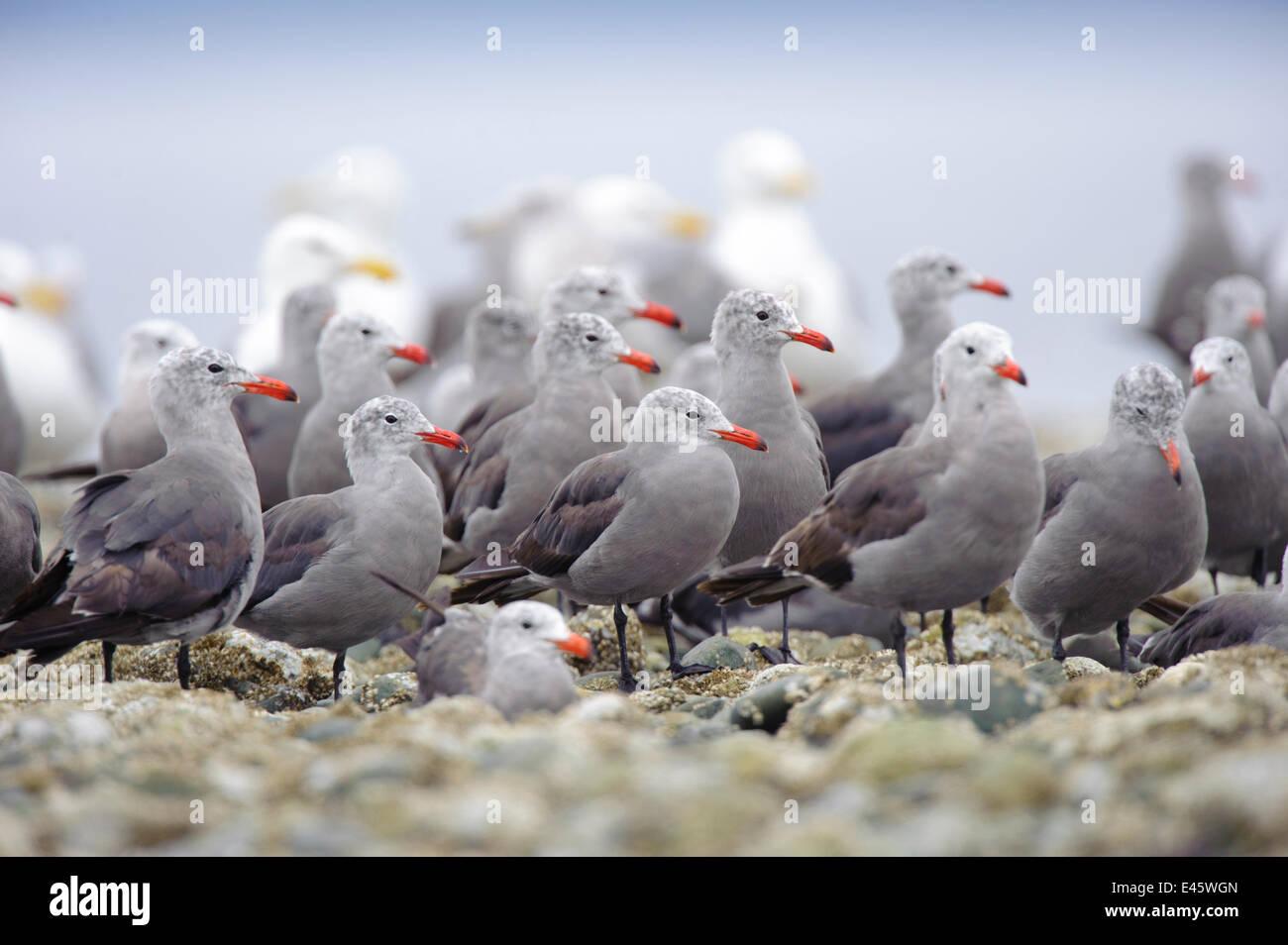 Flock of Heermann's Gulls (Larus heermanni) standing on intertidal rocks. Jefferson County, Washington, USA, - Stock Image