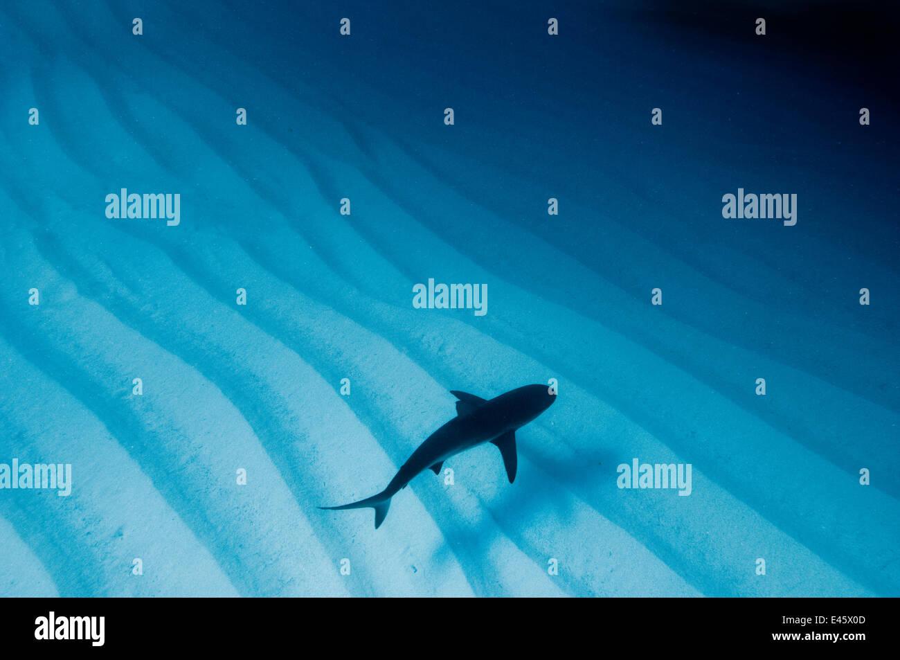 An available light photo of a Caribbean reef shark (Carcharhinus perezi) over sand ripples. Walkers Cay, Bahamas. - Stock Image