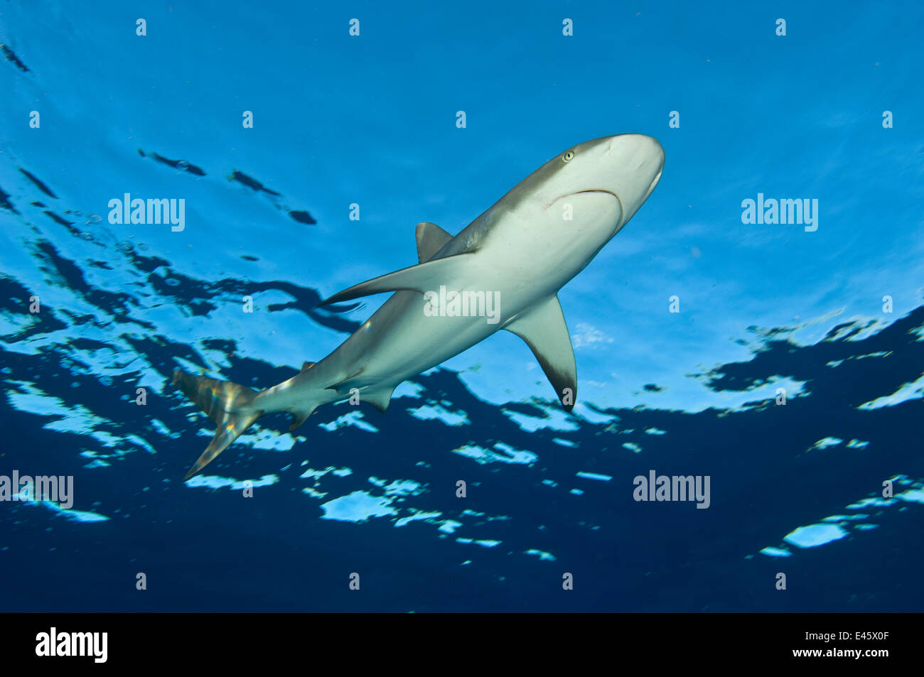 Low angle image of Caribbean reef shark (Carcharhinus perezi) at the surface. Grand Bahama, Bahamas. Tropical West - Stock Image