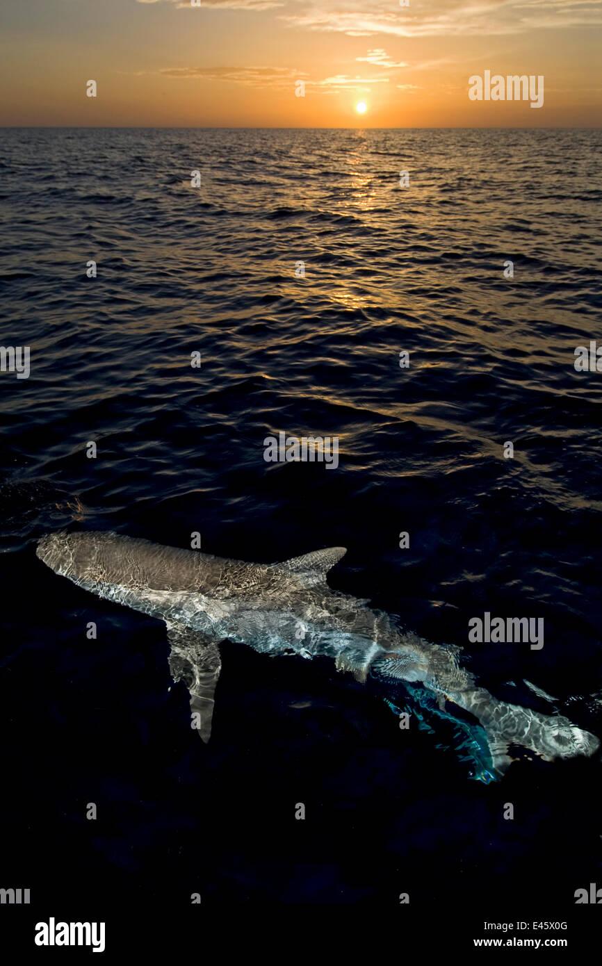 Caribbean reef shark (Carcharhinus perezi) at the surface at sunset. Grand Bahama, Bahamas. - Stock Image
