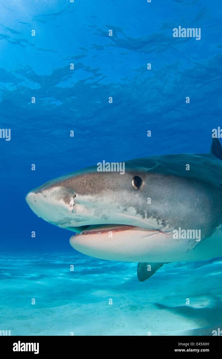 Tiger shark (Galeocerdo cuvier) portrait over white sand. Little Bahama Bank, Bahamas. - Stock Image