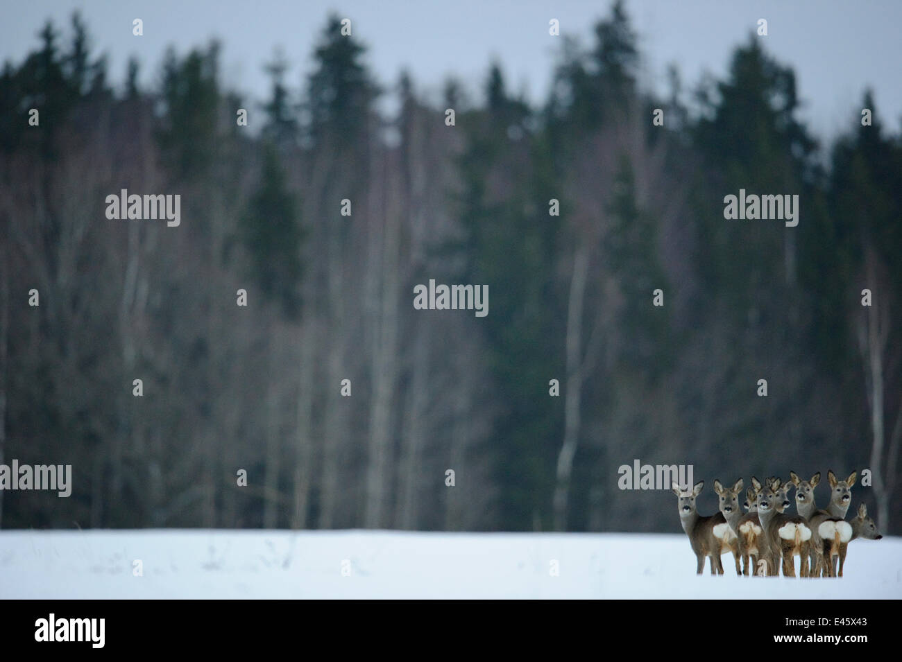 Small herd of Roe Deer (Capreolus capreolus) looking back at the photographer against forested background. Virumaa, Stock Photo