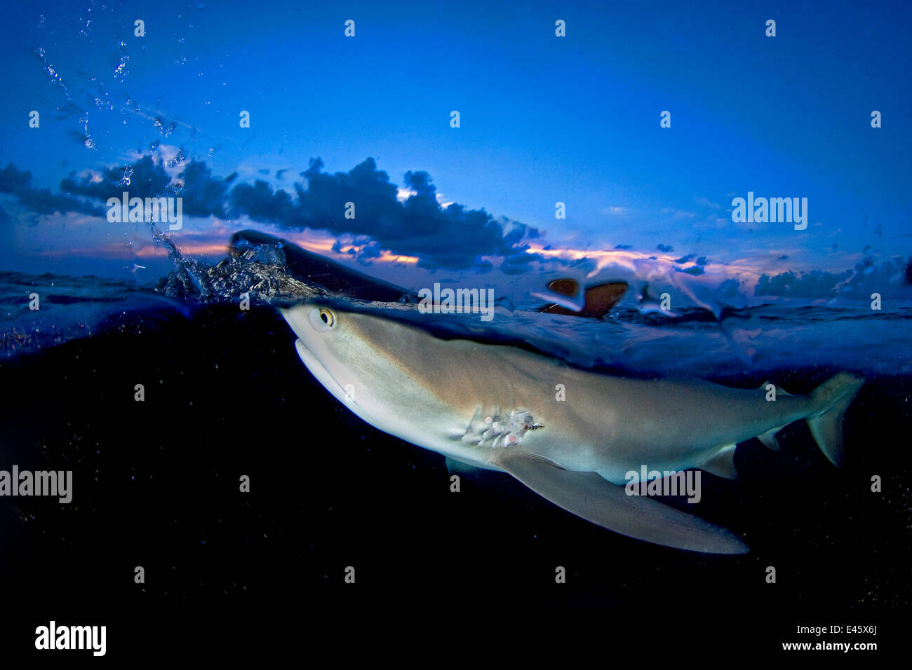 Split level image of Caribbean reef shark (Carcharhinus perezi) breaking surface at dusk. Grand Bahama, Bahamas. - Stock Image