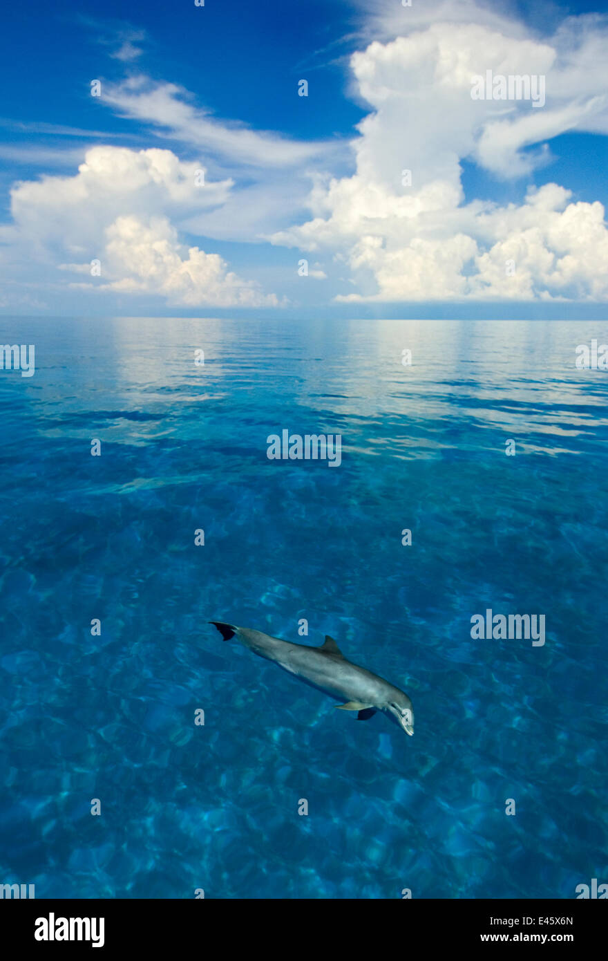 Bottlenose dolphin (Tursiops truncatus) in shallow water over a sand bank. Sandy Ridge, Little Bahama Bank, Bahamas. - Stock Image