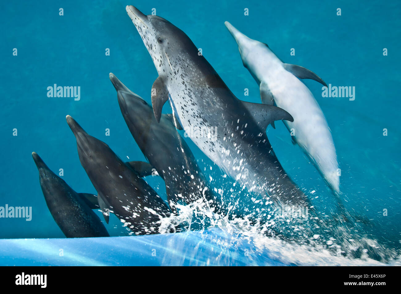 A pod of Atlantic spotted dolphins (Stenella frontalis) riding on the bow wave of a boat. Sandy Ridge, Little Bahama - Stock Image