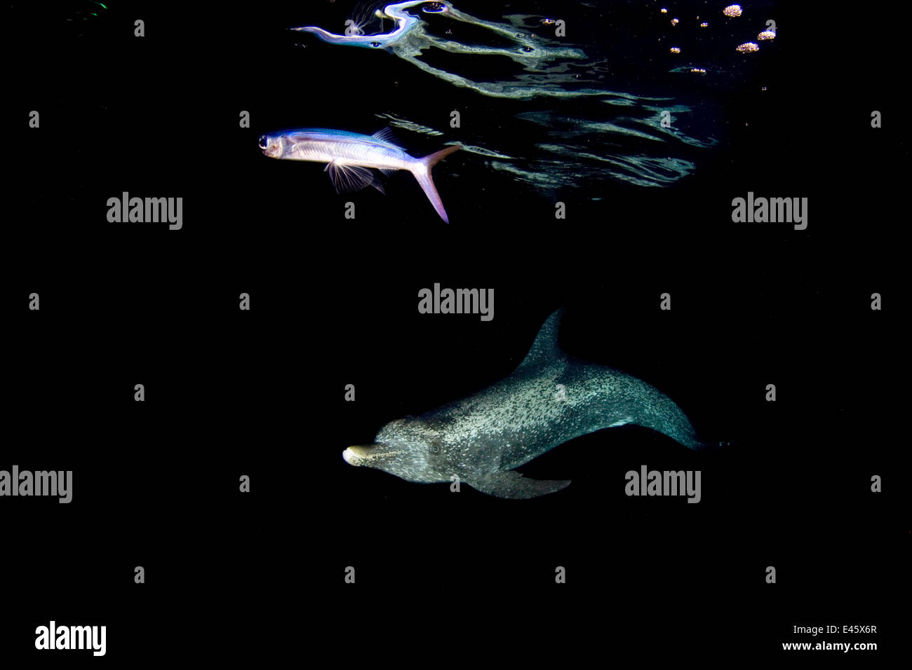 Atlantic spotted dolphin (Stenella frontalis) hunting a Flying fish (Hirundichthys affinis) at night in the Gulf Stock Photo