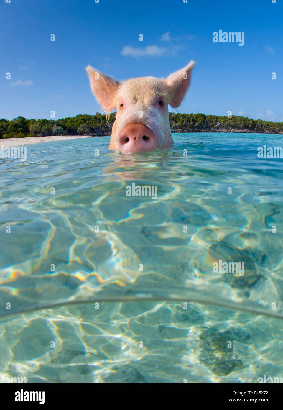 A domestic pig (Sus scrofa domestica) swimming in the sea. Exuma Cays, Bahamas. Tropical West Atlantic Ocean. This - Stock Image