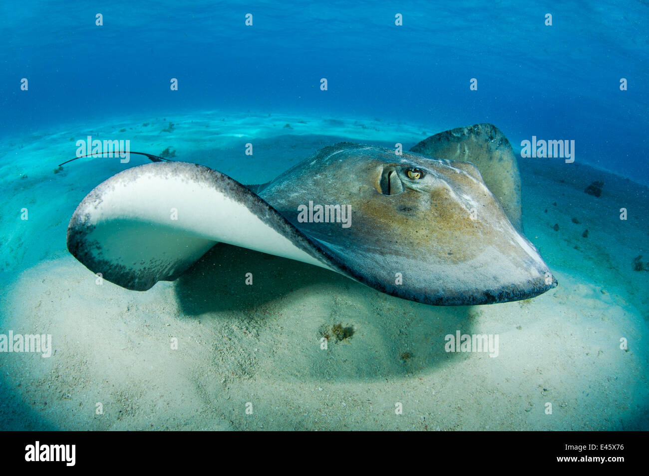 Southern stingray (Dasyatis americana) swimming over seabed, Grand Cayman, Cayman Islands. British West Indies, - Stock Image