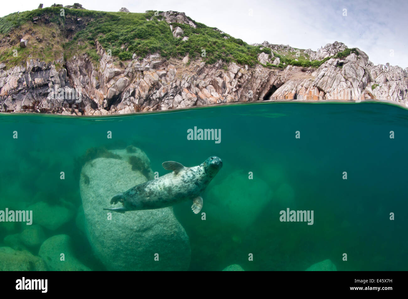 Atlantic grey seal (Halichoerus grypus) swimming beneath the surface, Lundy Island,  England, UK. July 2010 Stock Photo