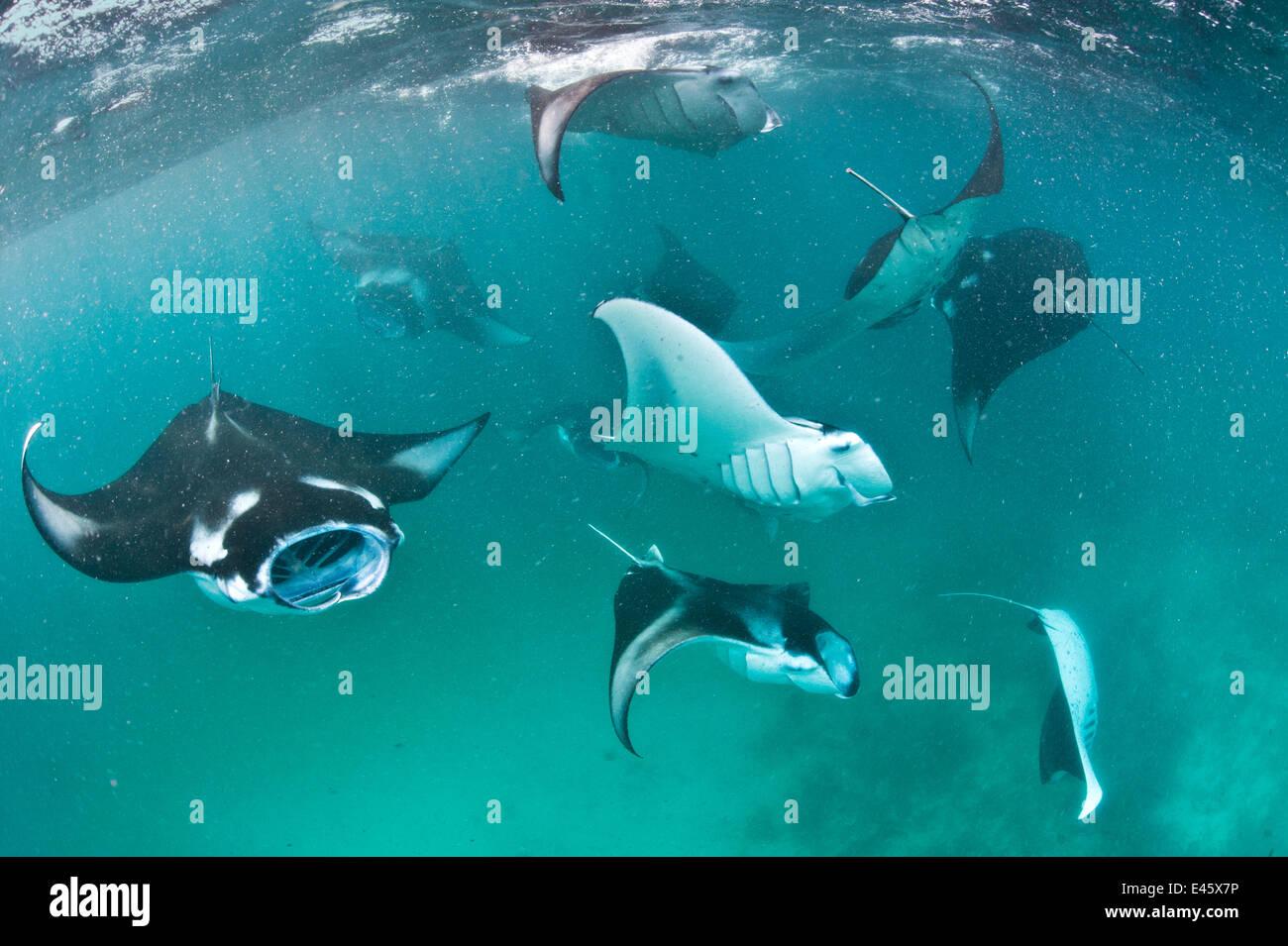 Group of Manta rays (Manta birostris) feeding together on plankton in a shallow lagoon. Hanifaru Lagoon, Baa Atoll, - Stock Image