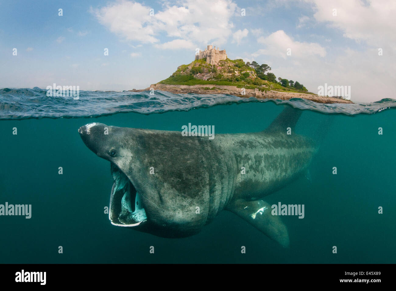 A split level digital composite showing a Basking shark (Ceterhinus maximus) feeding on plankton around St Michael's - Stock Image