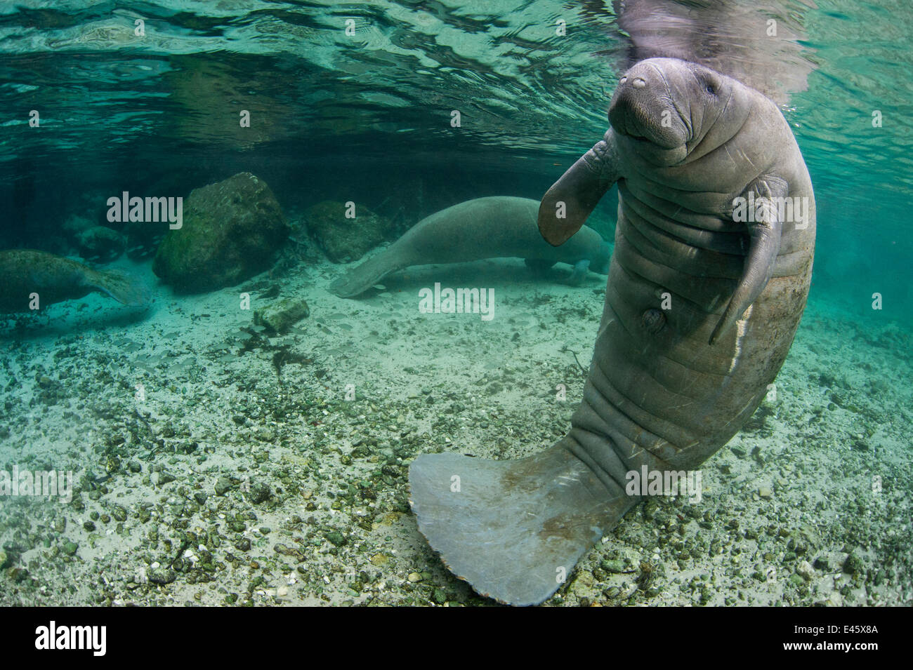 A Florida manatee (Trichechus manatus latirostrus) in upright posture with tail on river bed, outside Three Sisters - Stock Image