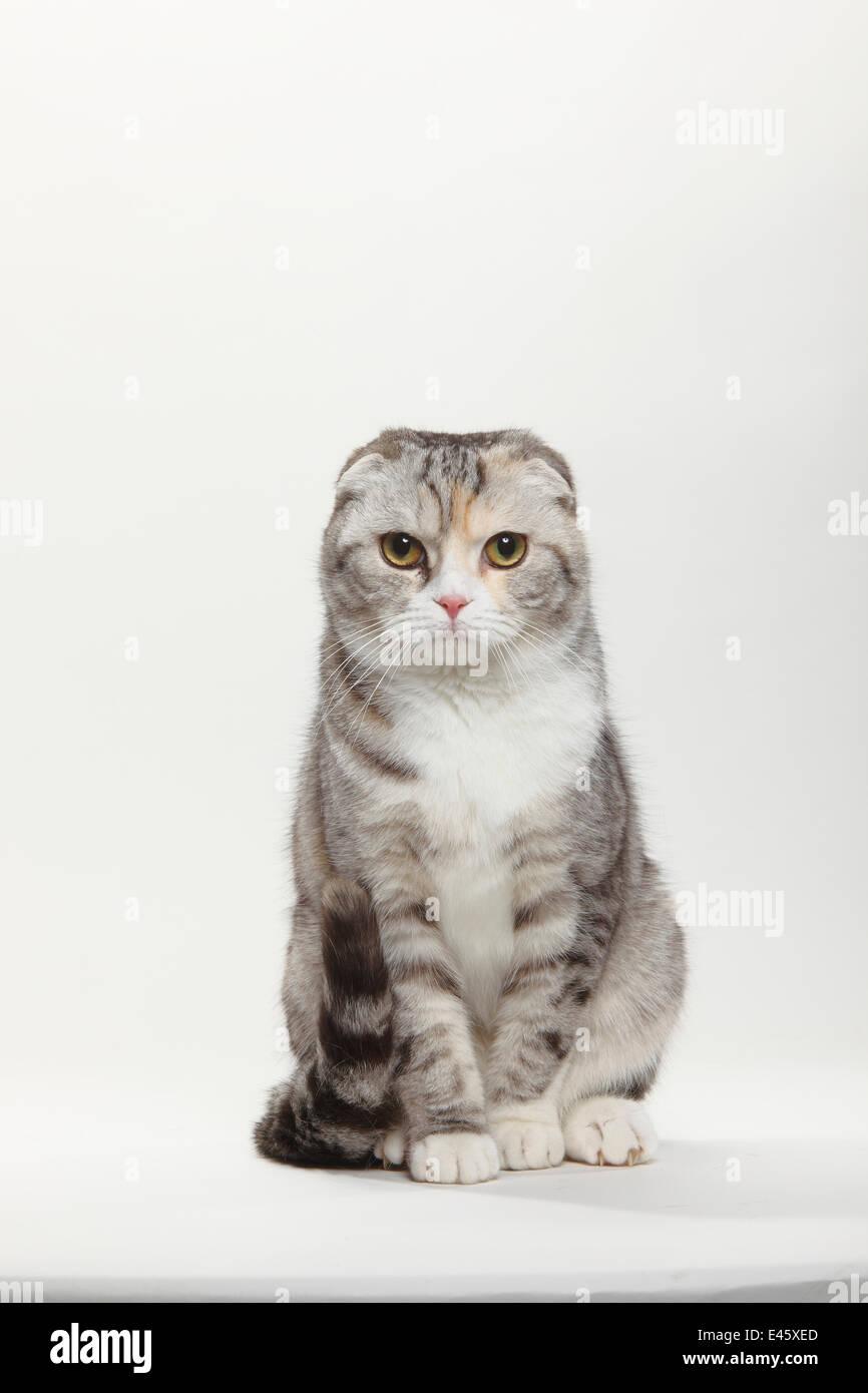 Scottish Fold cat, tabby coated, sitting - Stock Image