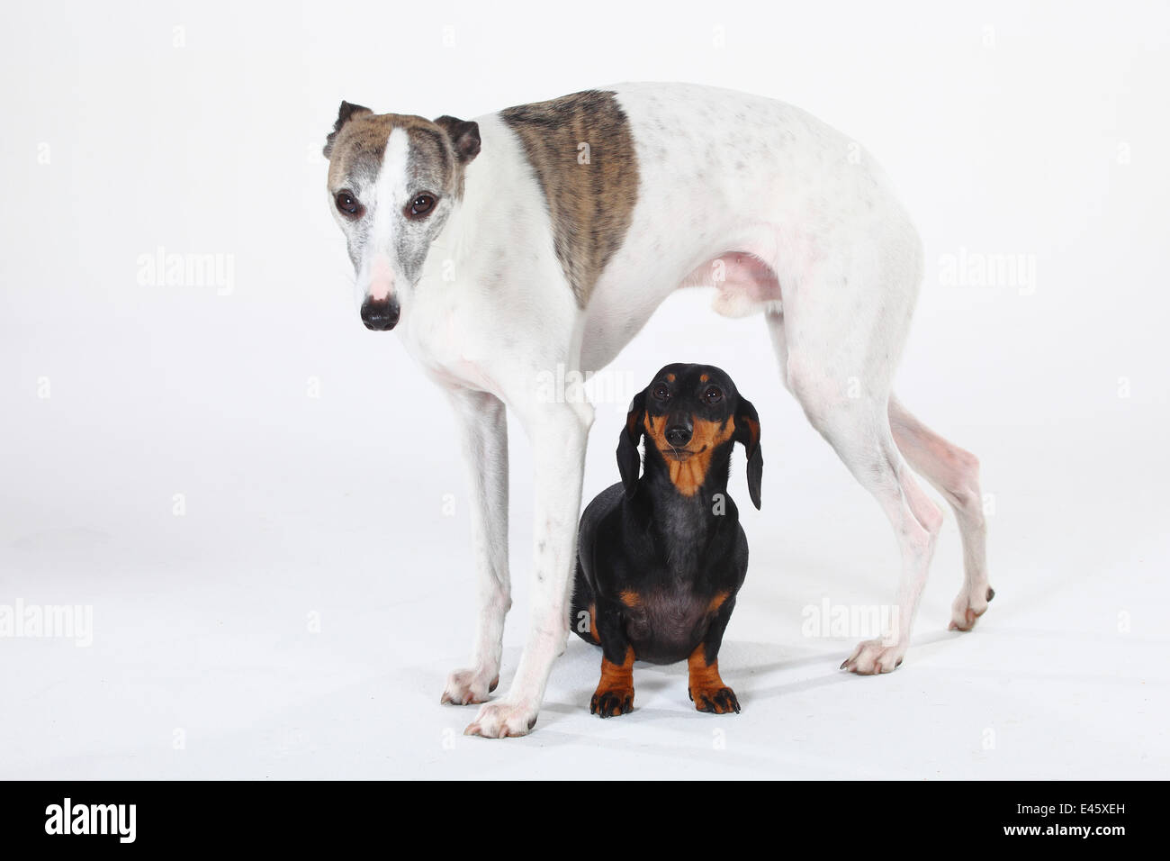 Smooth haired Dachshund, black and tan, with with Whippet standing over - Stock Image