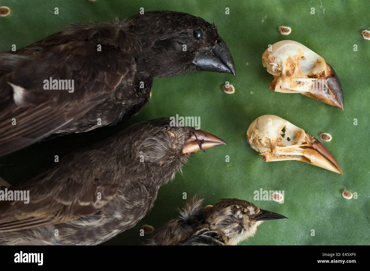 Finch specimens (Emberizidae) at the Charles Darwin Research Station, Puerto Ayora, Santa Cruz Island, Galapagos - Stock Image