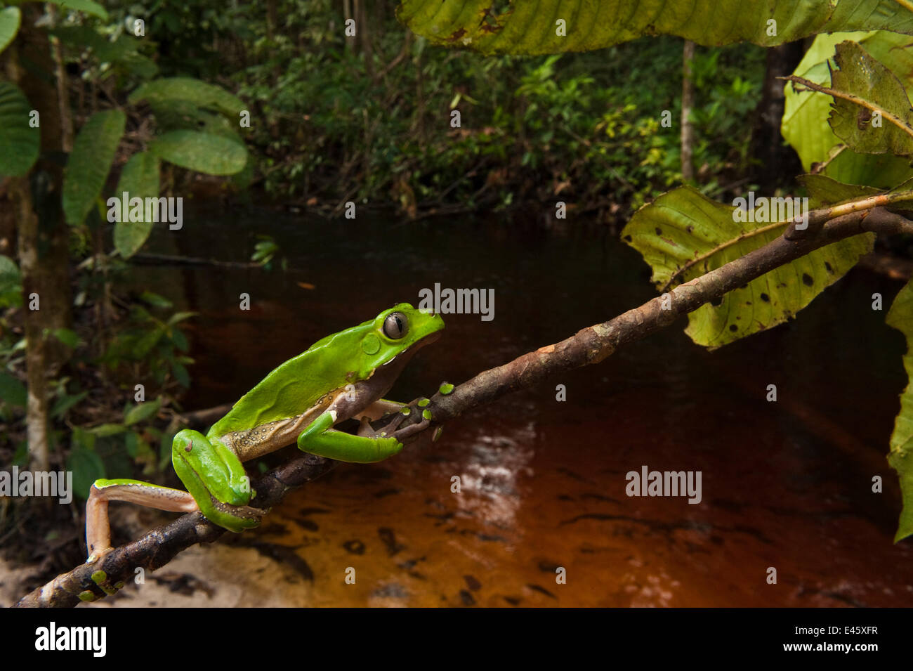 Giant leaf frog (Phyllomedusa bicolor) climbing along branch in rainforest, Iwokrama Reserve, Guyana Stock Photo