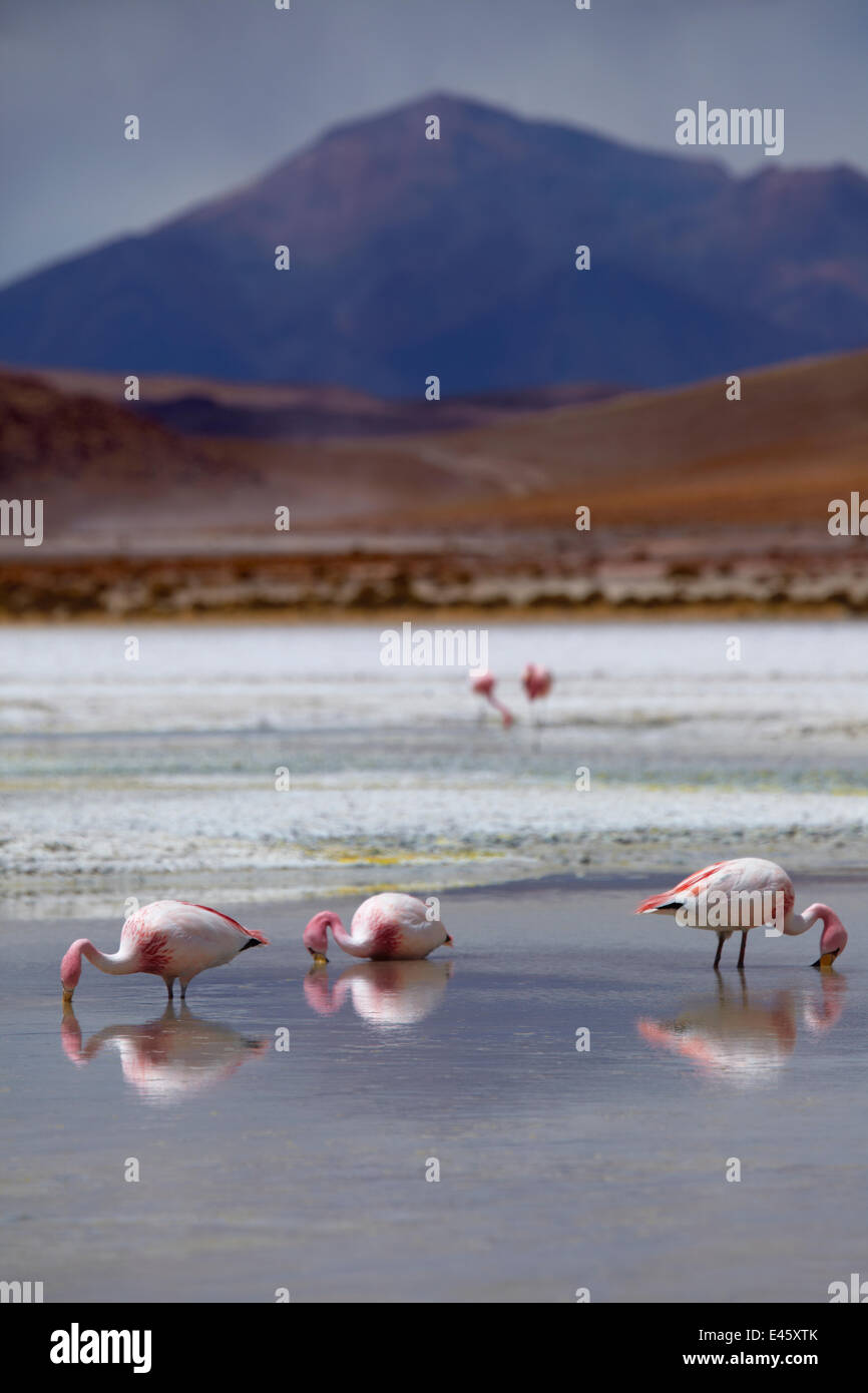 James' flamingos (Phoenicoparrus jamesi) on a laguna in the remote region of high desert, altiplano and volcanoes - Stock Image