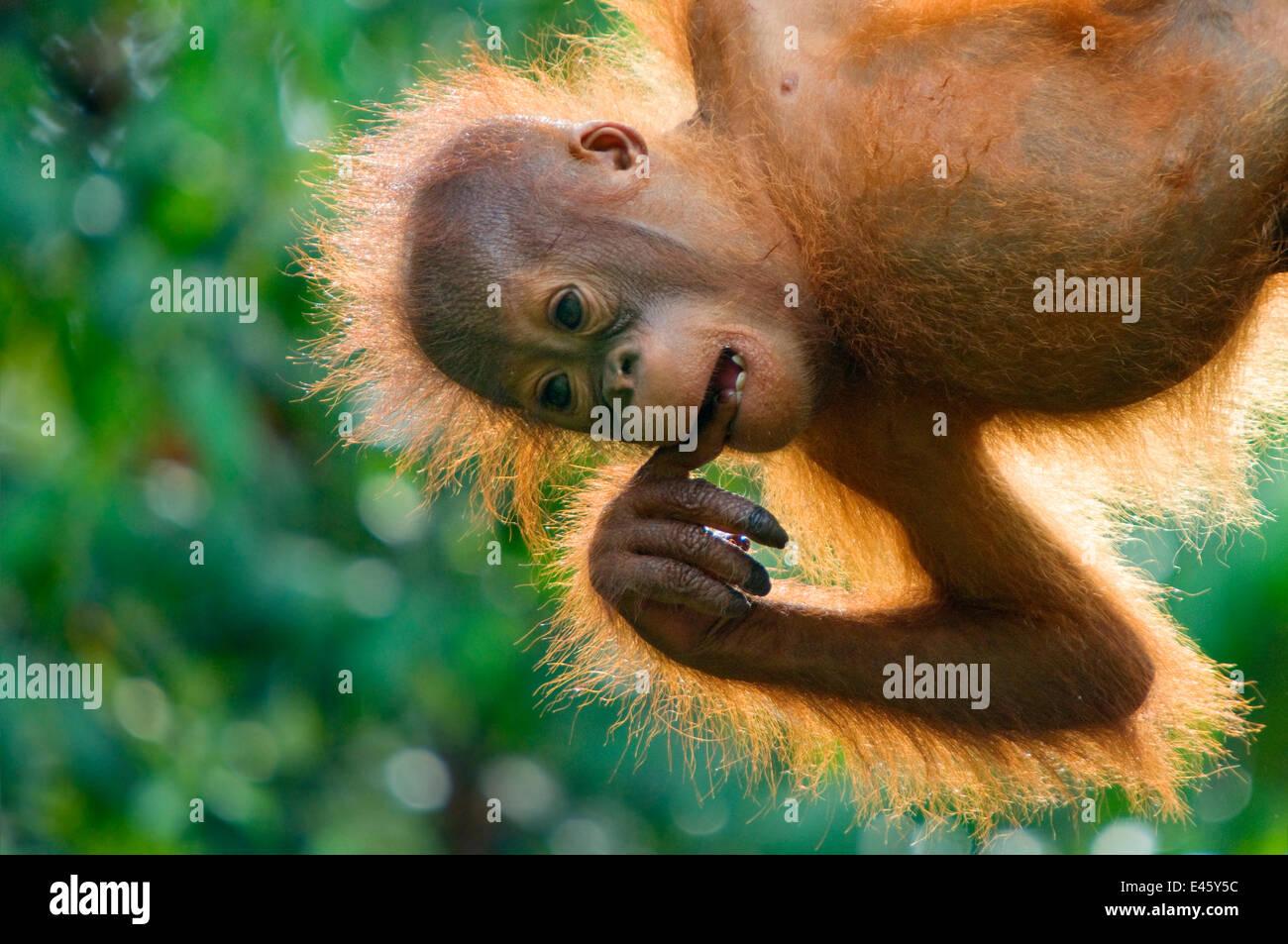 Orang utan (Pongo pygmaeus) baby hanging from trees, and chewing on fingers,  Semengoh Nature reserve, Sarawak, - Stock Image