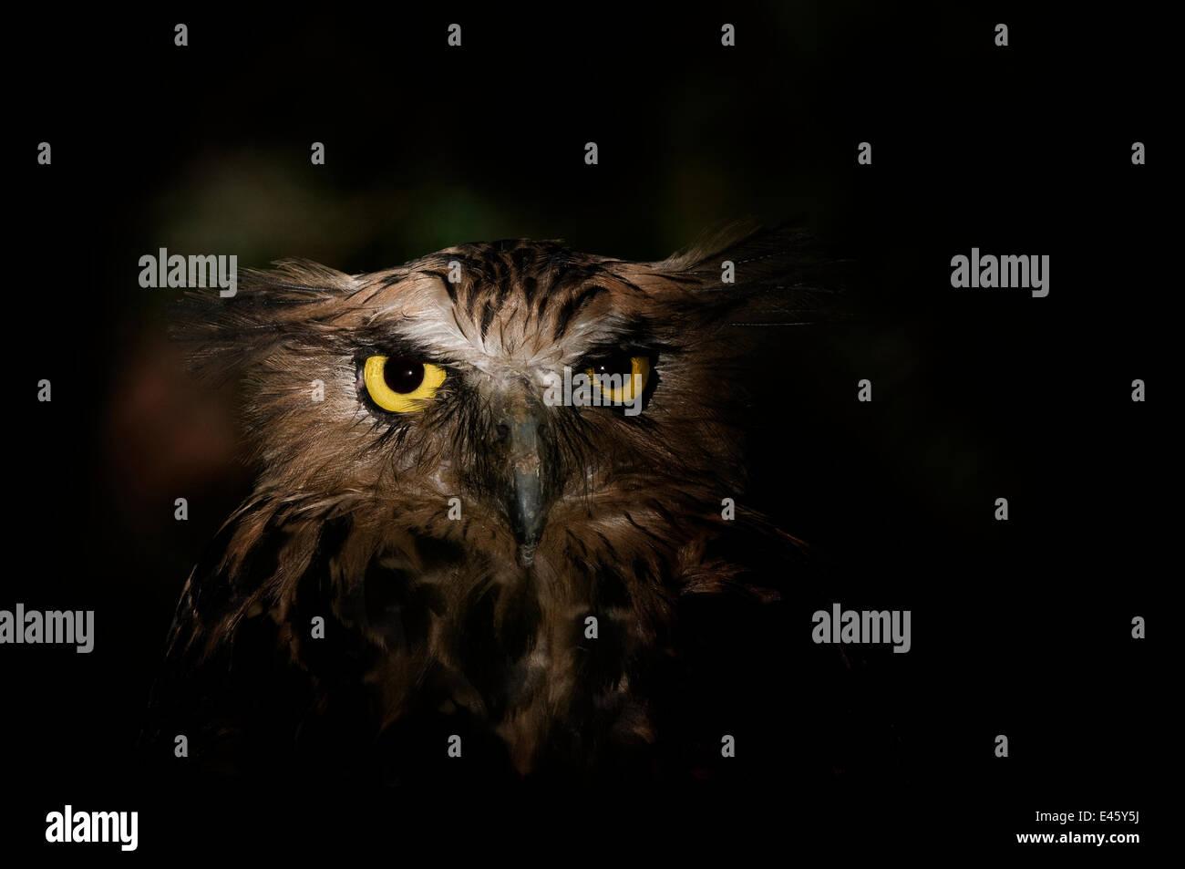 Buffy fish owl (Ketupa ketupa) head portrait,  captive - Stock Image