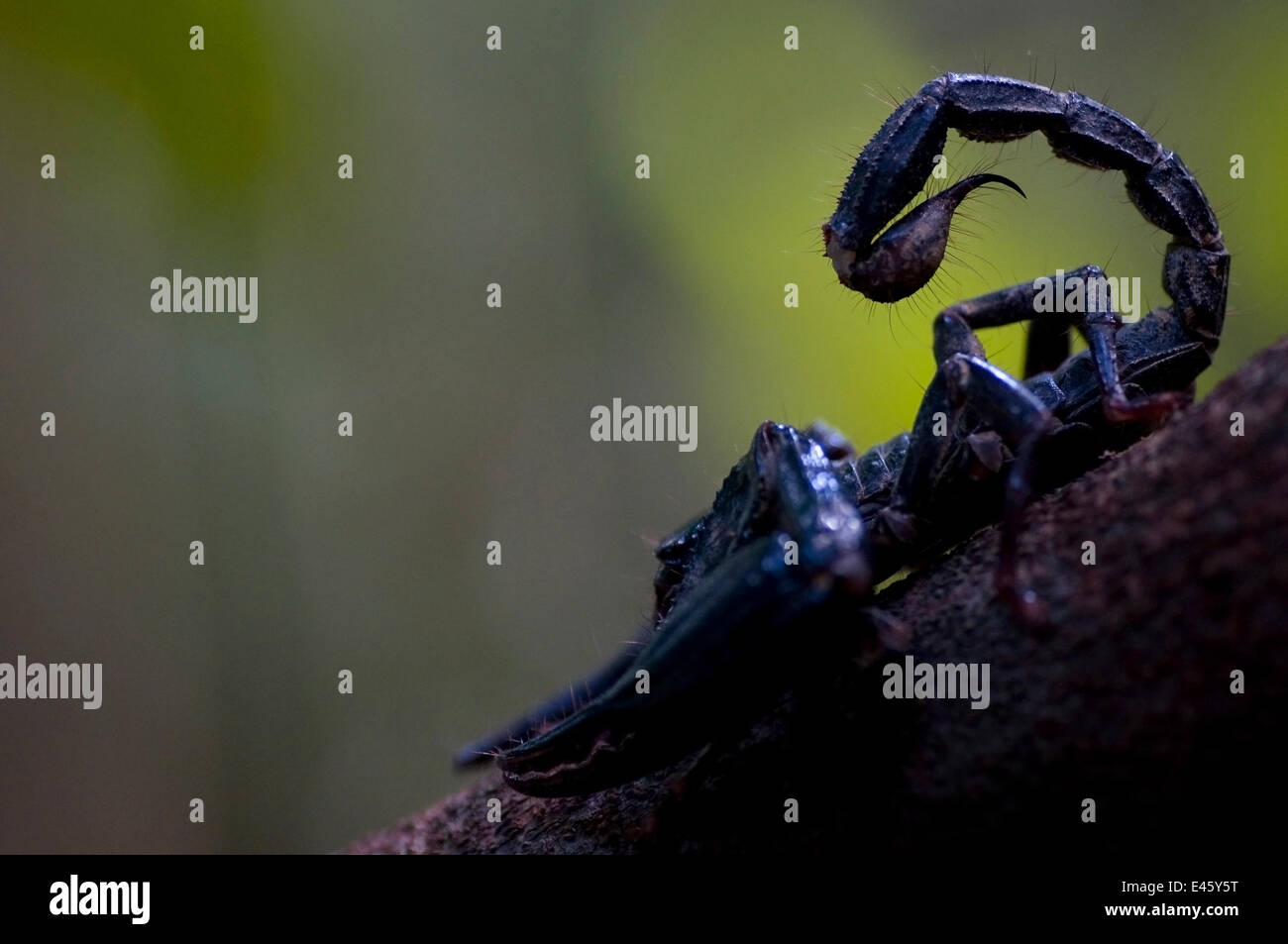 Asian giant forest scorpion (Heterometrus longimanus) with tail raised, Sarawak, Borneo, Malaysia - Stock Image