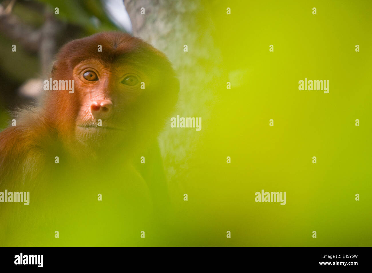 Proboscis Monkey (Nasalis larvatus) female sitting in tree, partially obscured by soft focus leaves in foreground, - Stock Image