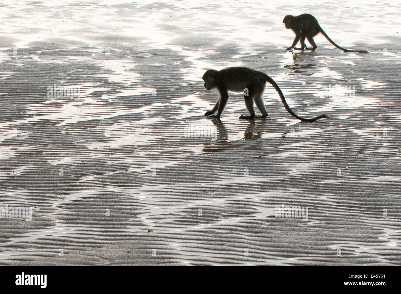 Two Long-tailed / Crab-eating macaques (Macaca fascicularis) foraging on coastline at low tide, Bako National Park, - Stock Image