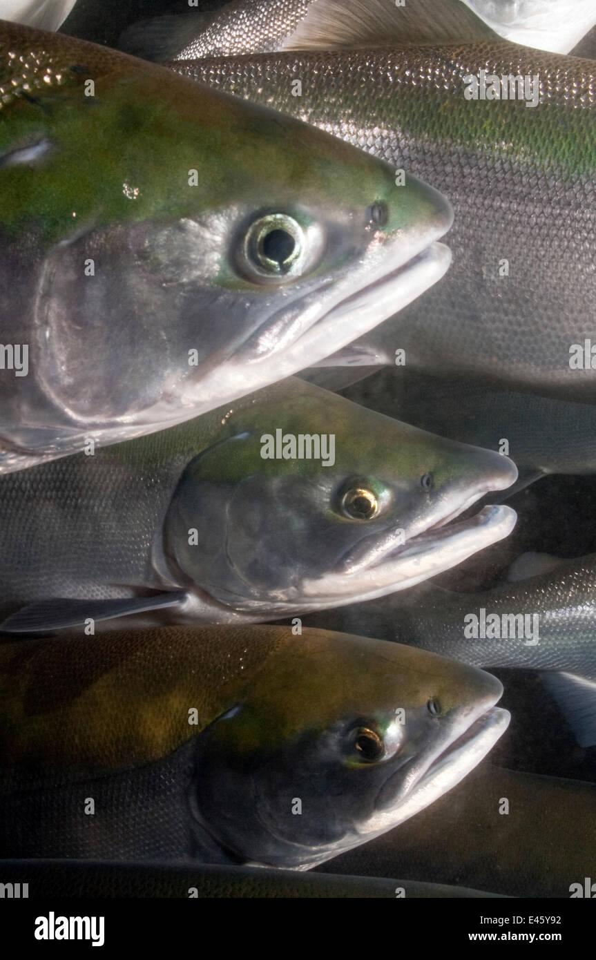 Far East salmon (photo)