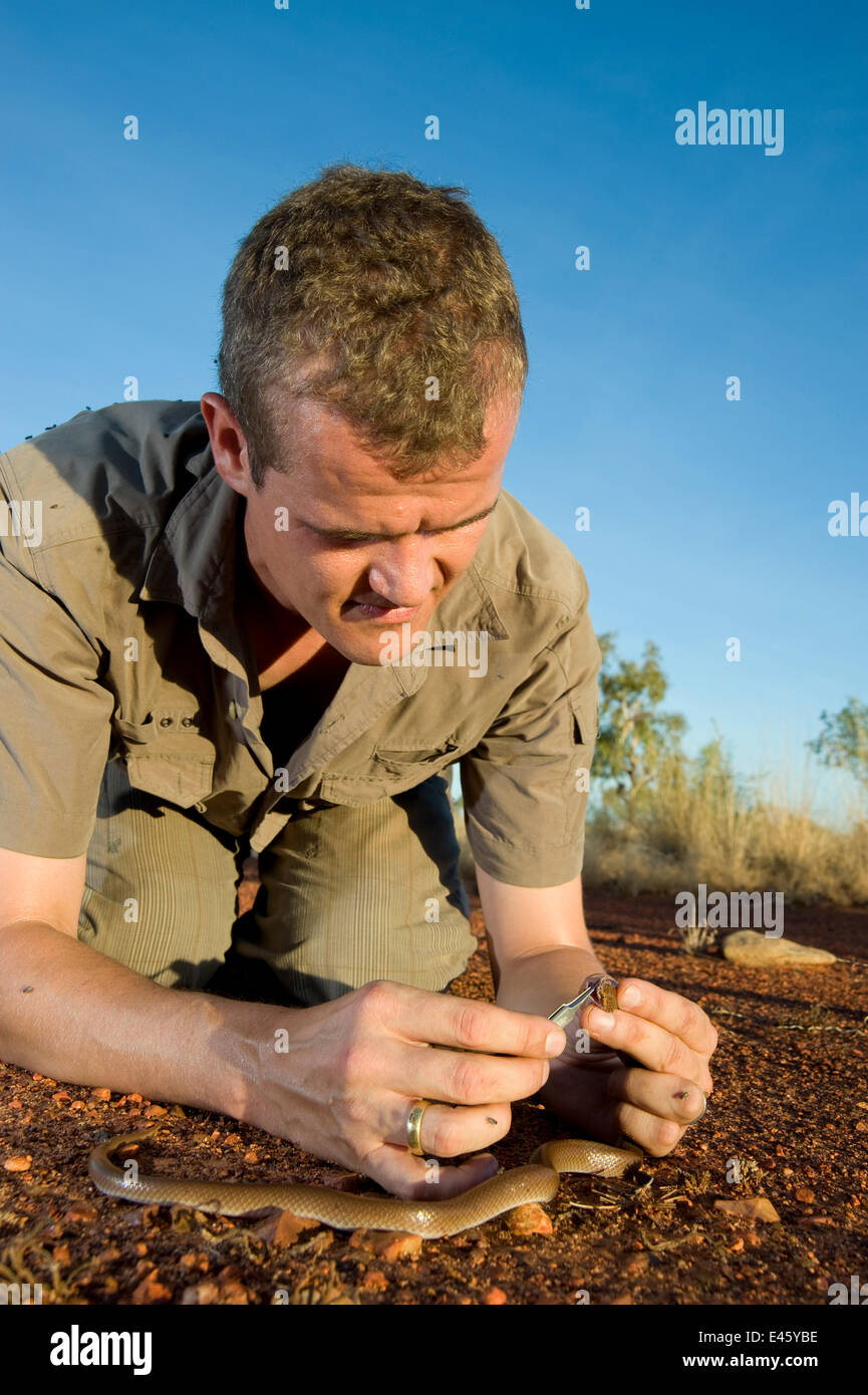 Researcher Guido Westhoff handling a curl snake (Suta suta) caught earlier in Corella Dam. Queensland, Australia, - Stock Image