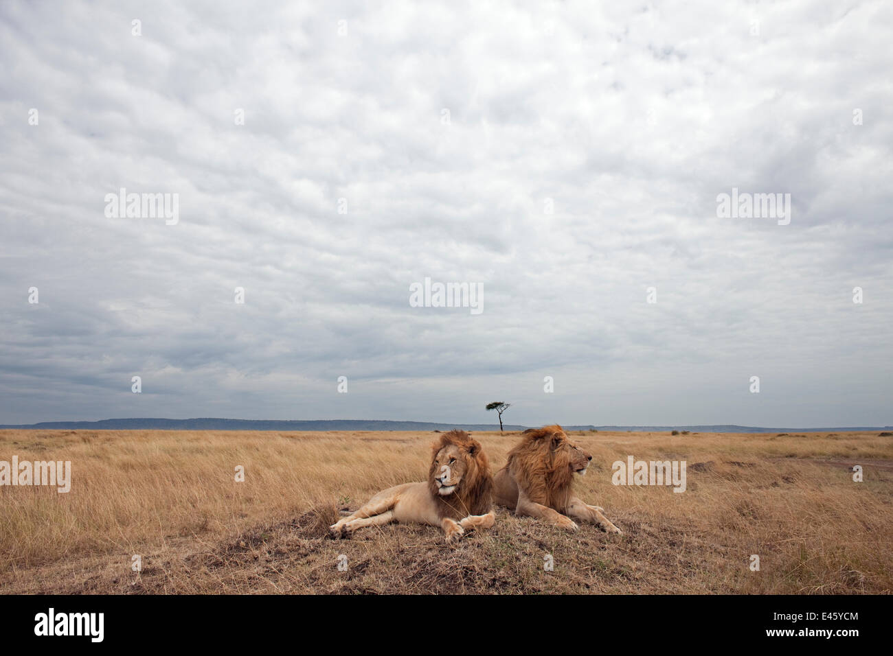 Lion males (Panthera leo) lying on a grass mound. Masai Mara National Reserve, Kenya, August 2009 - Stock Image