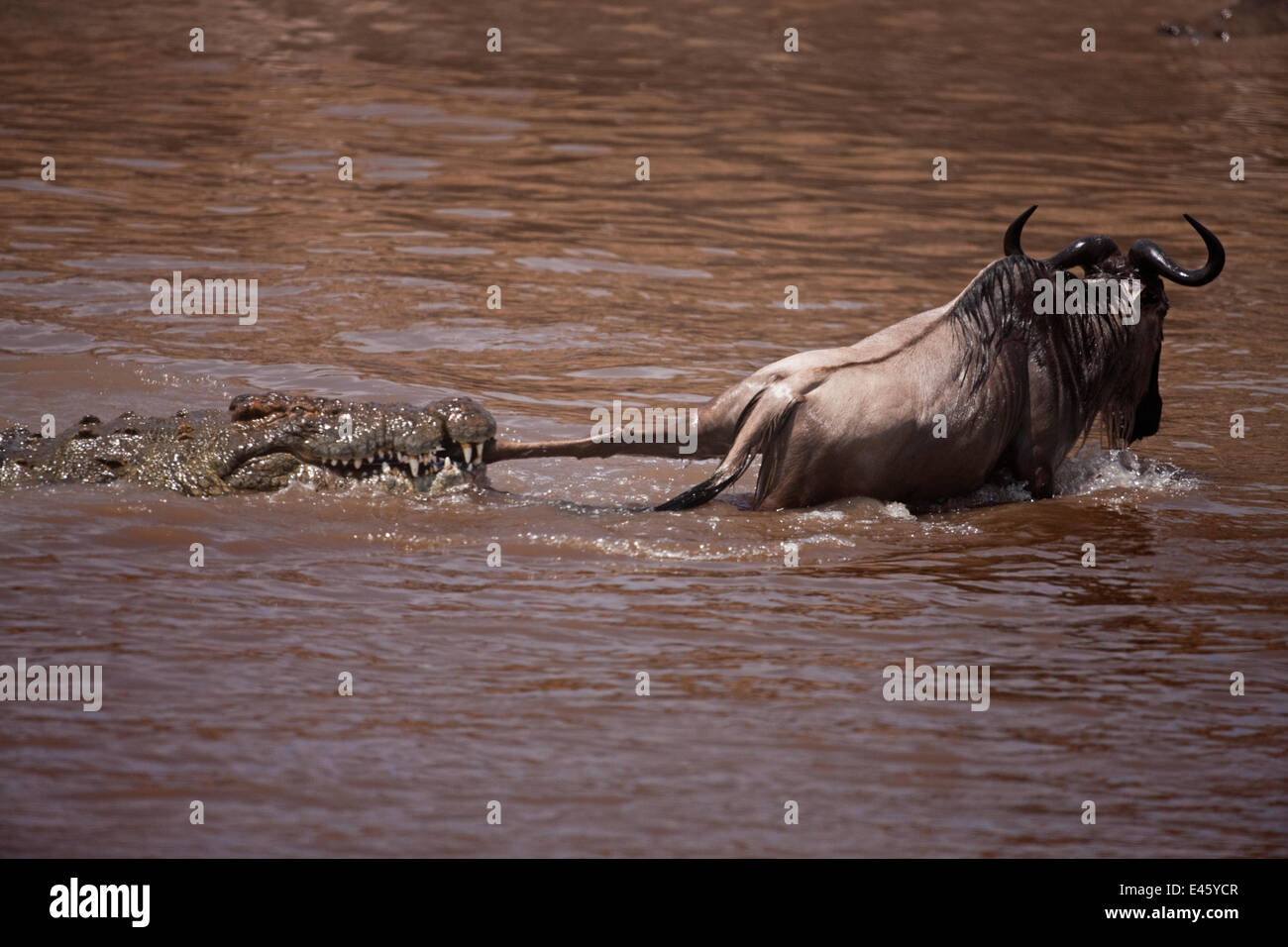 Nile crocodile (Crocodylus niloticus) attacking a Wildebeest (Connochaetes taurinus) as it crosses the Mara River. - Stock Image